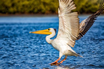 The Pink-backed Pelican or Pelecanus rufescens is lands on the surface in the sea lagoon in Africa, Senegal. It is a wildlife photo of bird in wild nature.